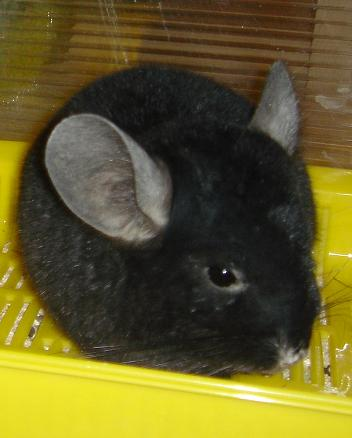 chinchilla-agata
