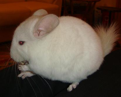white-pink-chinchilla-1