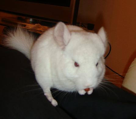 white-pink-chinchilla-2