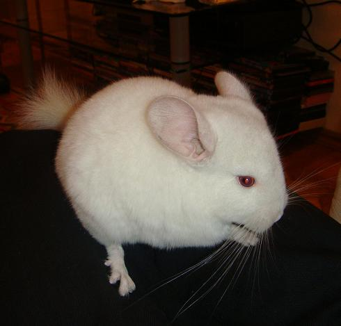 white-pink-chinchilla-3