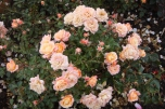 mostovaya-end-roses