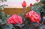 mostovaya-end-roses3