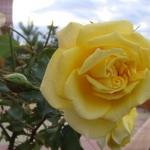 mostovaya-end-roses2